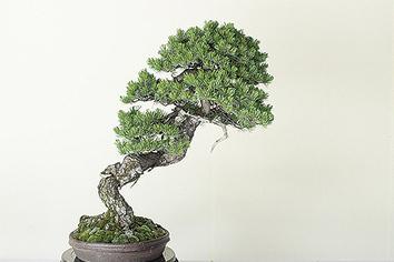 bonsai160608
